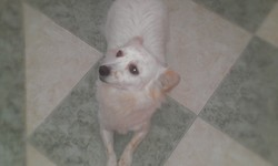 Blanche, chien Chihuahua