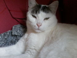 Blanche, chat