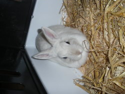 Blanche , rongeur Lapin