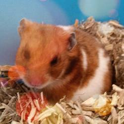 Blanche, rongeur Hamster
