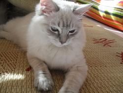 Blanche, chat Européen