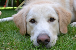 Blanche, chien Golden Retriever