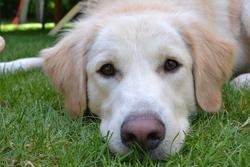Blanche, chien Golden Retriever