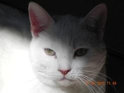 Blanchette, chat Européen