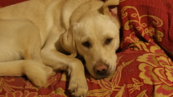 Blanchette, chien