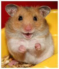 Mousstachette, rongeur Hamster