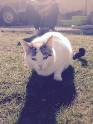 Blanchette , chat Siamois
