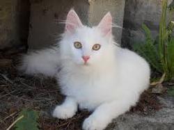 Blanchette, chat Angora turc