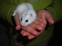 Blanchette, rongeur Hamster