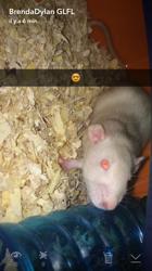 Blanchette, rongeur Rat