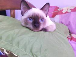 Blancky, chat Siamois
