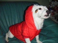 Blanco, chien Jack Russell Terrier