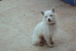 Blanco, chien