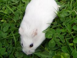 Blanco, rongeur Hamster