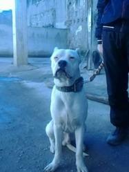 Blanco, chien Dogue argentin