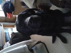 Blanca, chien Labrador Retriever