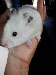 Blanket, rongeur Hamster