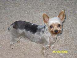 Blaskas, chien Yorkshire Terrier