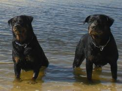 Bleid Vs Tudka, chien Rottweiler