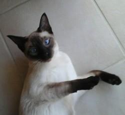 Bleuet, chat Siamois