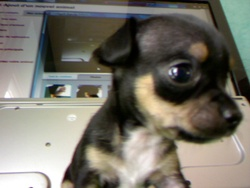 Blick, chien