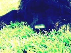 Blika, chien Terre-Neuve