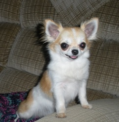 Bling, chien Chihuahua