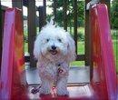 Blinis, chien Bichon à poil frisé