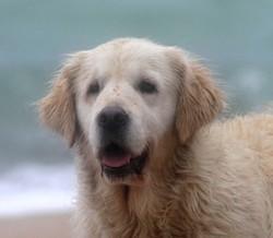 Bliska, chien Golden Retriever