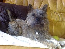 Blitz, chien Cairn Terrier