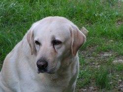 Blondi, chien Labrador Retriever