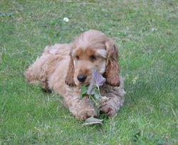 Blondin Dcd 29 Mars 2014 à 4 Mois, chien Cocker anglais