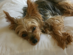 Bloody, chien Yorkshire Terrier