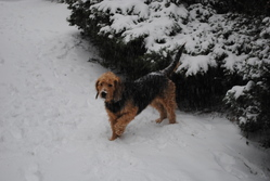Bloom, chien Griffon à poil dur Korthals