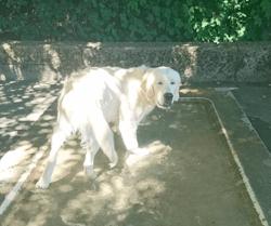 Blue, chien Golden Retriever