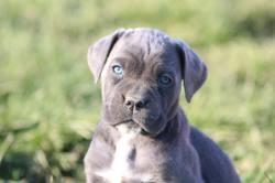 Blue, chien Cane Corso
