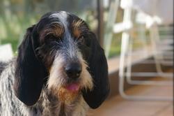 Kiss, chien Bleu de Gascogne