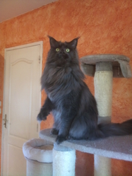 Blue, chat Maine Coon