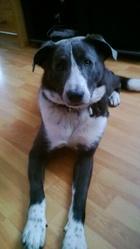Blue, chien Border Collie