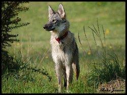 Blue, chien Chien-loup tchèque