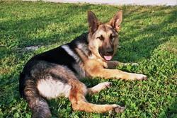 Blue-Jean, chien Berger allemand