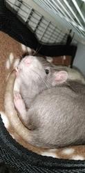 Blue, rongeur Rat