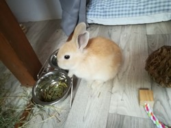 Bluebell, rongeur Lapin