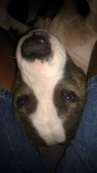Bluebelle, chien American Staffordshire Terrier