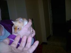 Bluette, rongeur Hamster