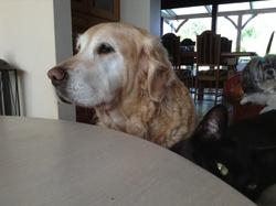 Bly, chien Golden Retriever