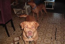 Bo,gidounne,toffy,charlot,shadow, chien Labrador Retriever