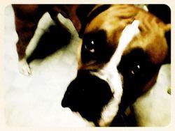 Bo Ti-Gars, chien Boxer