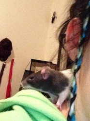 Zara, rongeur Rat