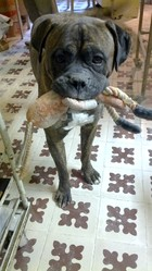 Bob, chien Cane Corso